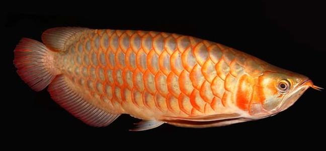 Perkembangan Dan Pengembangan Ikan Hias Di Indonesia