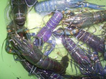 Budidaya Lobster Air Tawar Part 3 Agen Perubahan