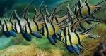 BanggaiCardinalfish_FR-FR54529054