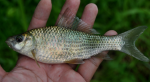 ikan nilem
