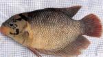 jenis-jenis ikan gurame