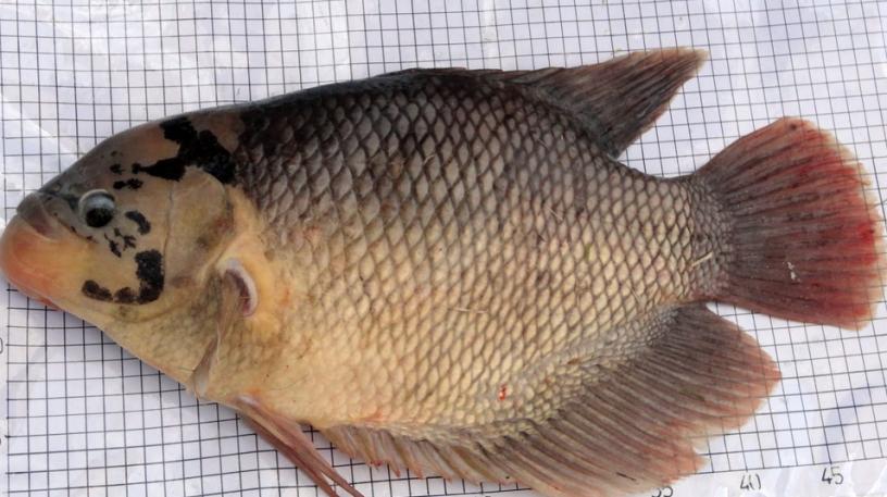 Hasil gambar untuk ikan gurame